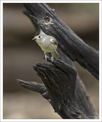 Черная хохлатая синица - Black-crested titmouse (Baeolophus atricristatus).