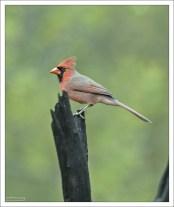 Красный кардинал. В семи штатах США избран официальным символом.