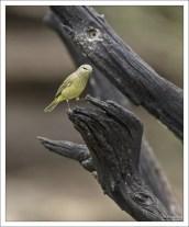 Обыкновенная овсянка - Yellowhammer (Emberiza citrinella).