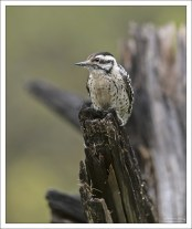 Самка лесного дятла - Ladder-backed woodpecker (Dryobates scalaris).