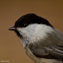 Talltita / Willow Tit