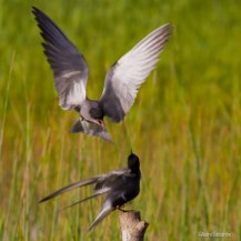 Svarttärnor / Black Terns