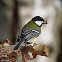 Talgoxe / Great Tit