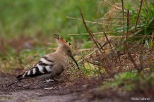 Härfågel / Common Hoopoe