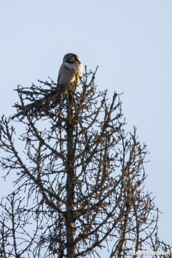Hökuggla / Northern Hawk Owl