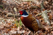 Fasan (hane) / Ring-necked Pheasant (male)