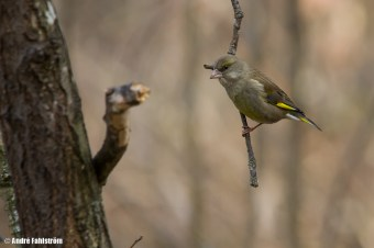 Grönfink / European Greenfinch