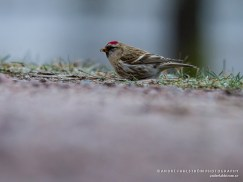 Gråsiska / Common Redpoll