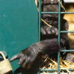 maimuta-inchisa-gradina-zoologica