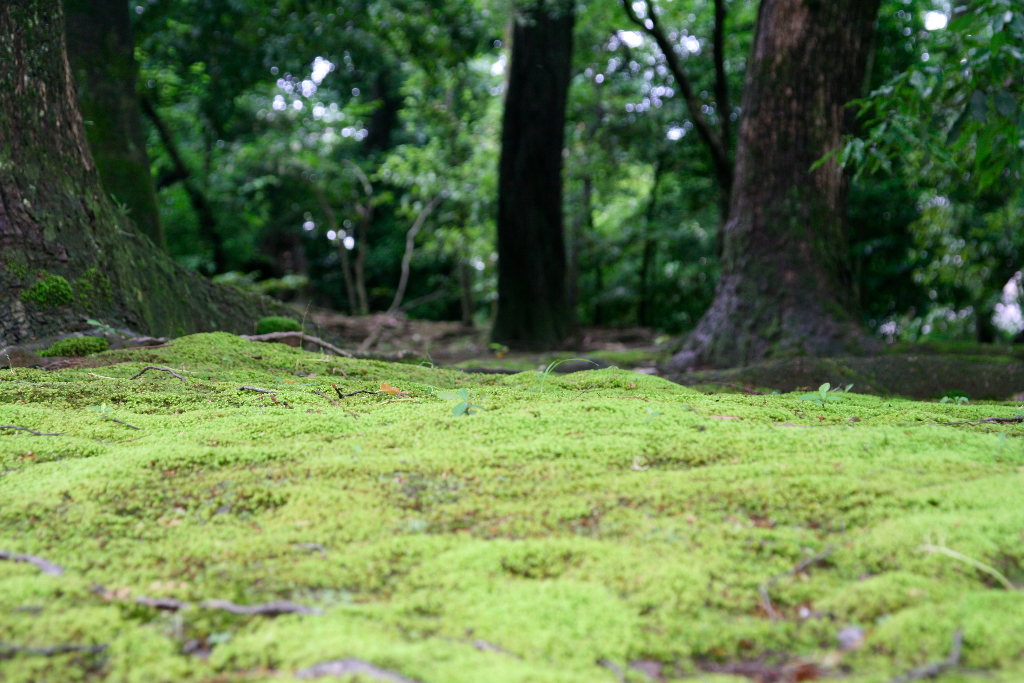 Moss covering the forest at Kyoto's Golden Pavilion