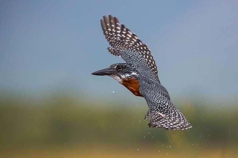 Flying giant kingfisher at Zimanga