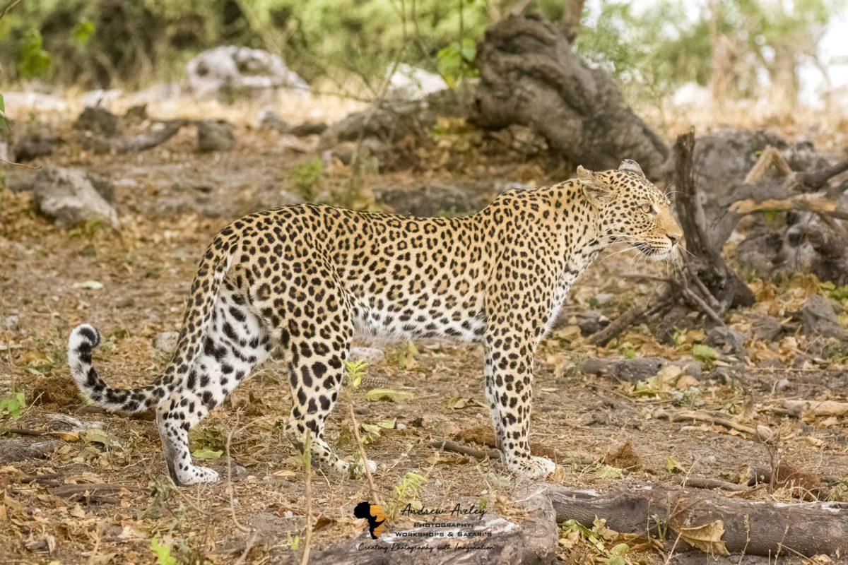 Chobe & Khwai Wildlife Photographic Safari