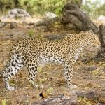 Chobe & Khwai Wildlife Photographic Safari