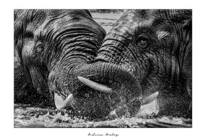 Entwined - Elephant Fine Art Print by Andrew Aveley - purchase online