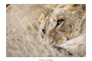 Future King - Lion Fine Art Print by Andrew Aveley - purchase online