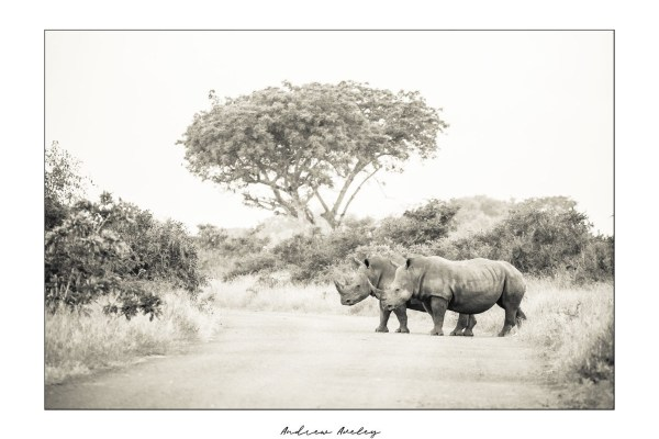 Rhino Landscape - Rhino Fine Art Print by Andrew Aveley - purchase online