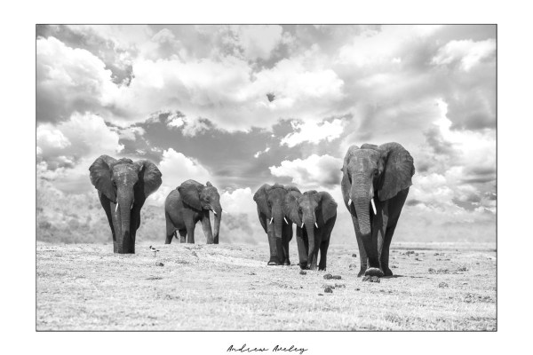 River March - Elephant Fine Art Print by Andrew Aveley - purchase online