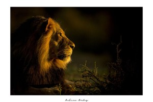 Pride of Fire - Lion Fine Art Print by Andrew Aveley - purchase online