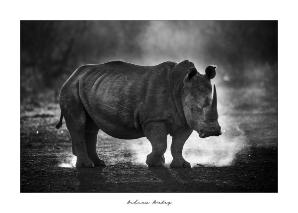 Standing Proud - Rhino Fine Art Print by Andrew Aveley - purchase online