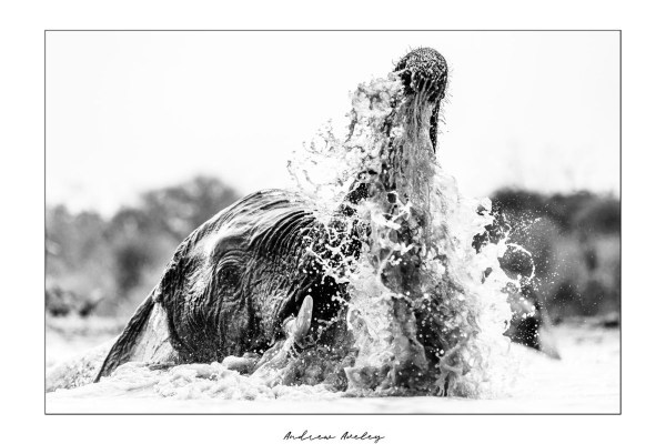 The Water - Elephant Fine Art Print by Andrew Aveley - purchase online