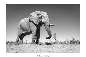 Mopani Giant 2 - Elephant Fine Art Print by Andrew Aveley - purchase online