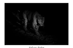 Mafufanyane - Leopard Fine Art Print by Andrew Aveley - purchase online