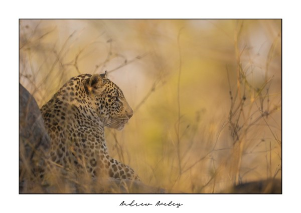 Biyamiti - Leopard Fine Art Print by Andrew Aveley - purchase online