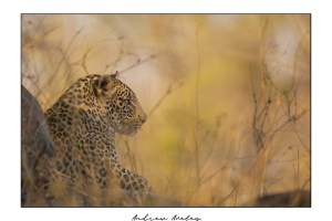 Biyamiti - Leopard Fine Art Print by Andrew Aveley - purchase online