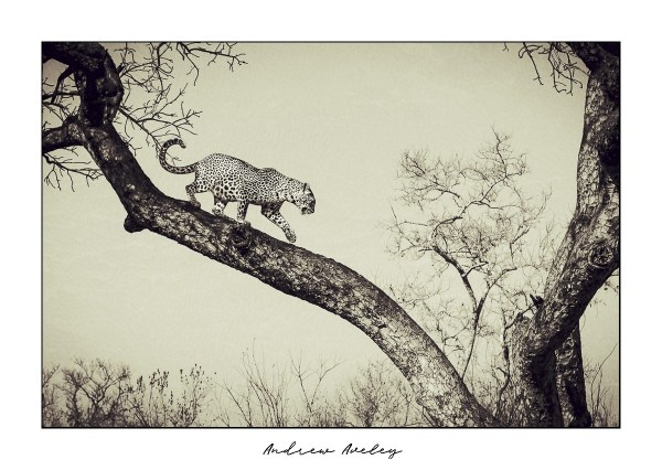 Descent - Leopard Fine Art Print by Andrew Aveley - purchase online