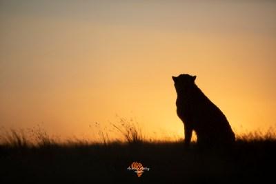 Cheetahs of Tiger Canyon
