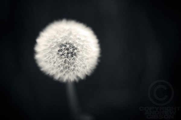 Dandelion photo by Andrew S Gibson