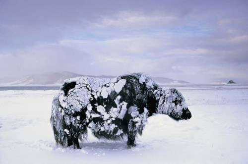Photo of a frozen yak by Peter Adams