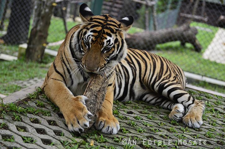 Tiger Kingdom 15
