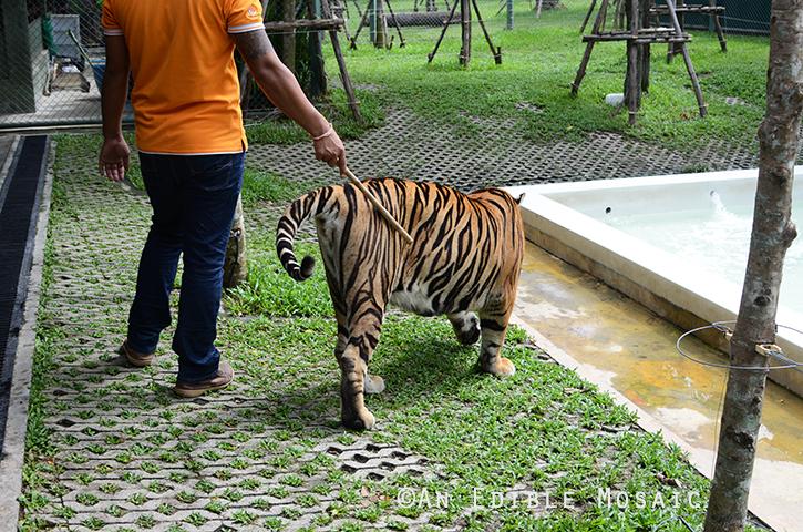 Tiger Kingdom 7