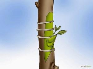 tree graft pic
