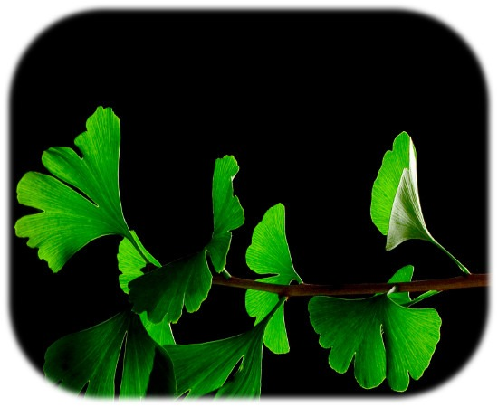Ginkgo_Biloba_Leaves_-_Black_Backgroundsm