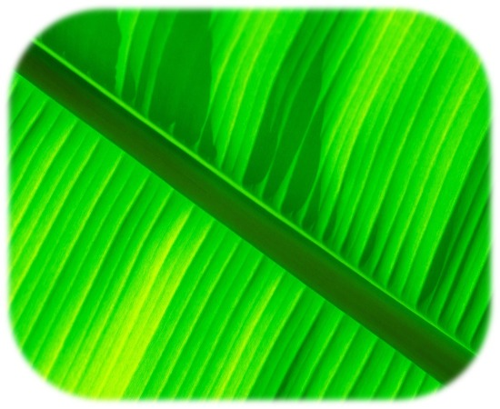 Green_banana_leaf_wallpaper_1920x1200sm