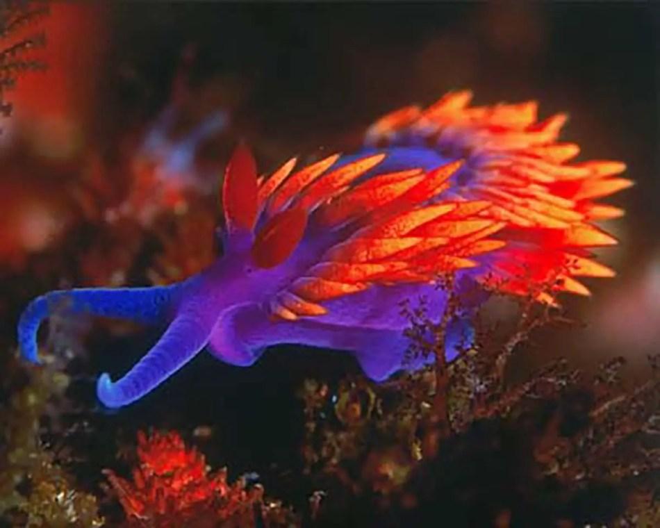 Fotografía de un nudibranquio.