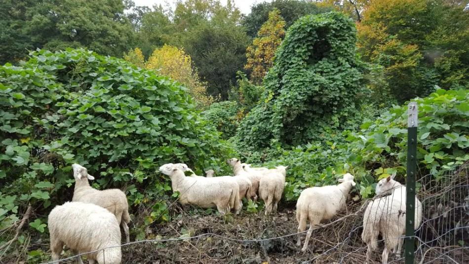 Fotografía mostrando a un grupo de ovejas devorando la planta.