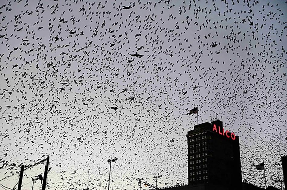 Fotografía de miles de pájaros en vuelo.