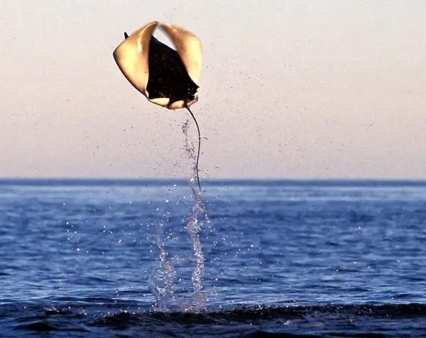 Fotografía de las Mobulas del Golfo de California en vuelo.
