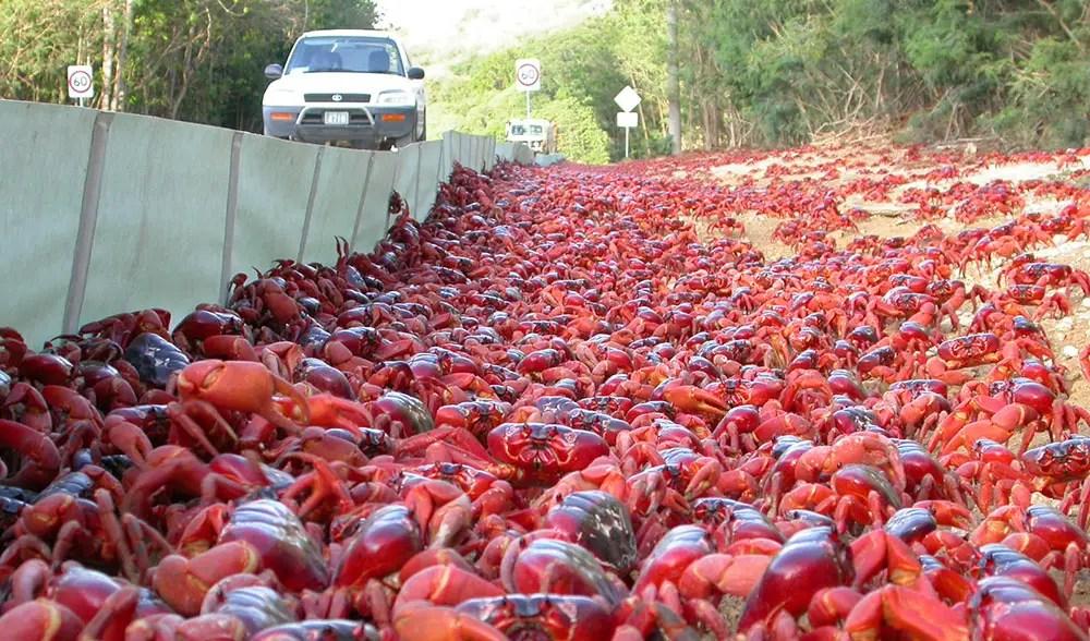 Fotografía de una enorme migración de cangrejos.