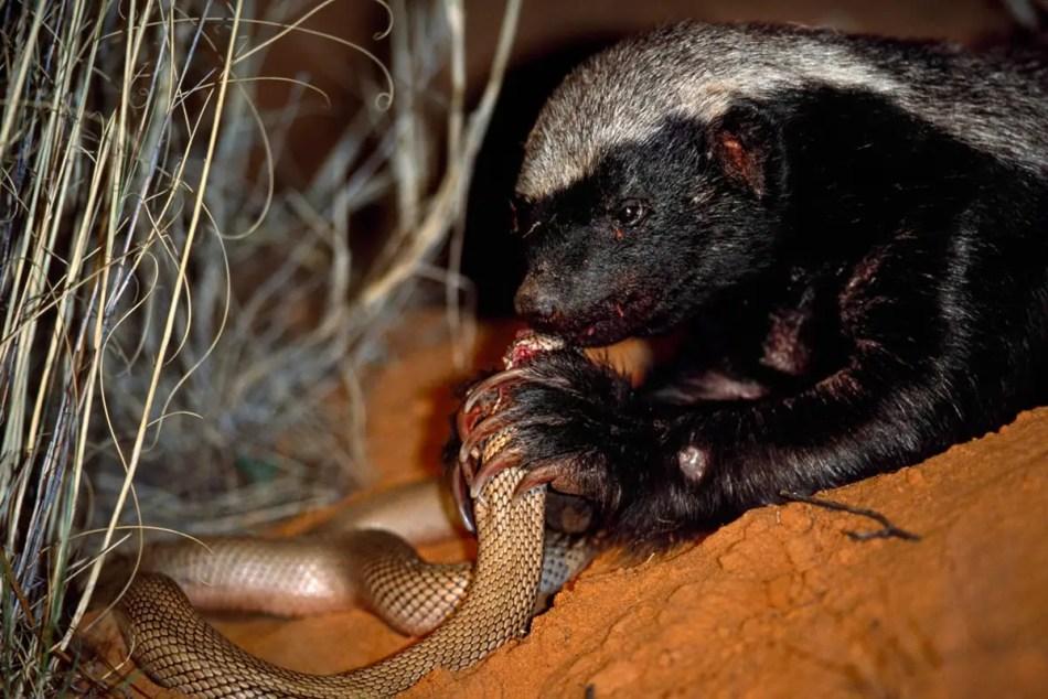 Las serpientes son comunes en la dieta de los tejones.