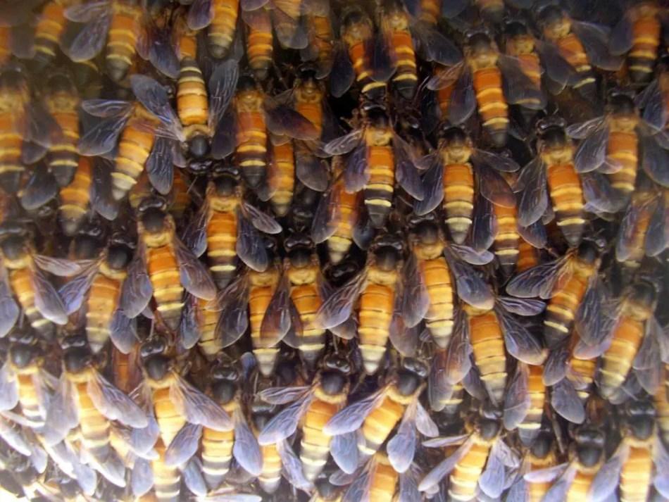 Fotografía de las abejas de Lamjung.
