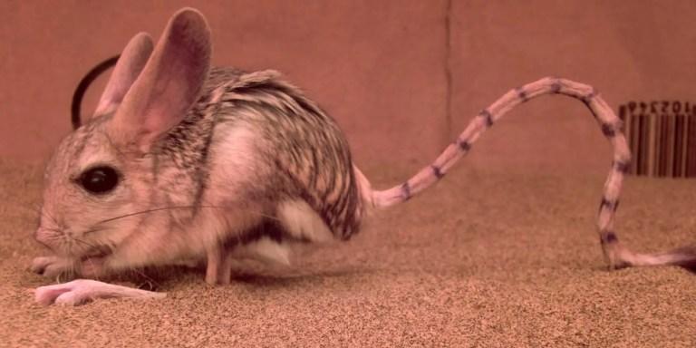 Jerbos egipcios, un roedor saltarín del desierto muy raro