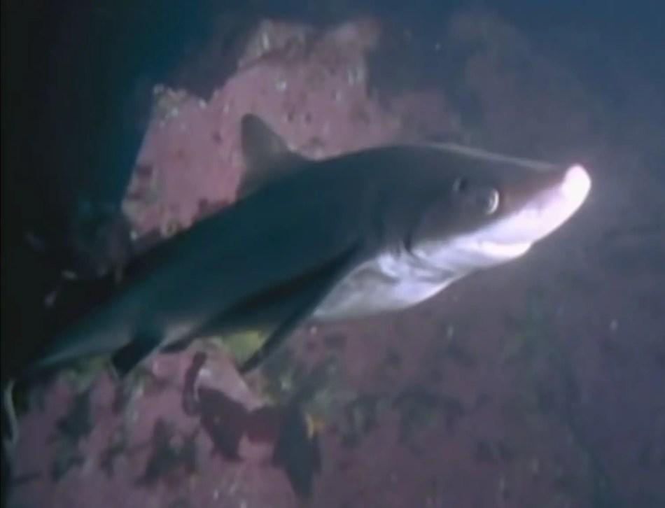 Tiburón vs pulpo.