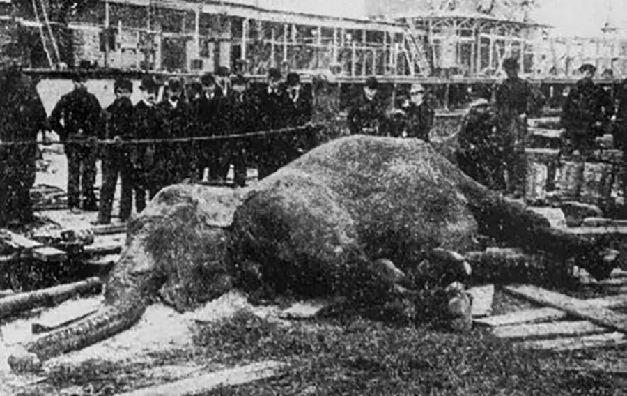 El cuerpo de Topsy la elefanta ya sin vida.
