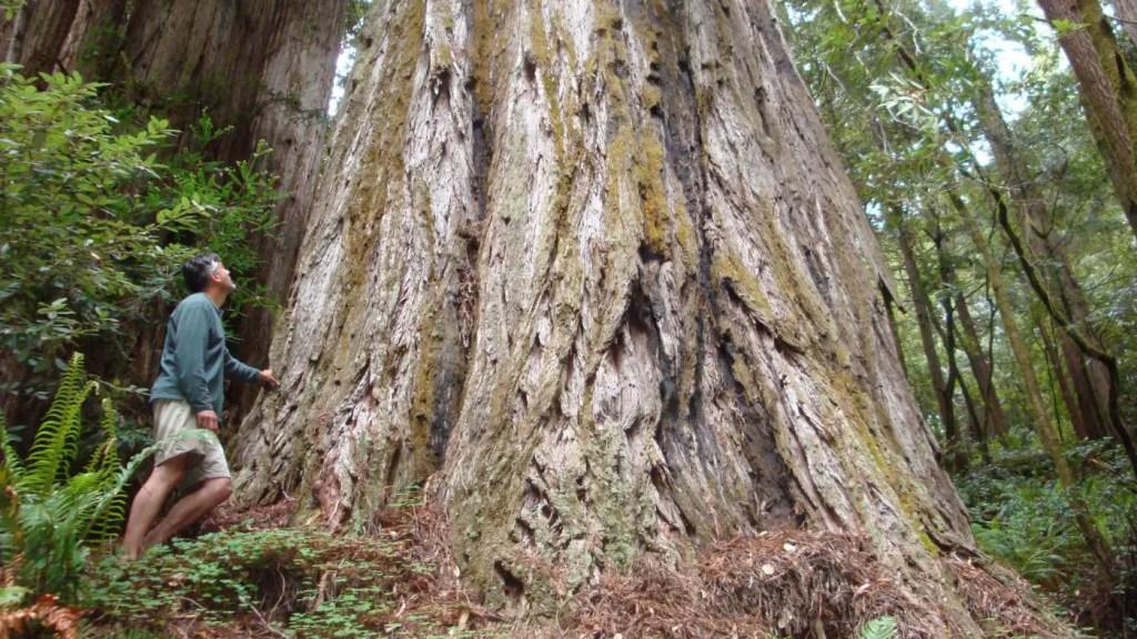 Comparación de una persona y un árbol redwood.