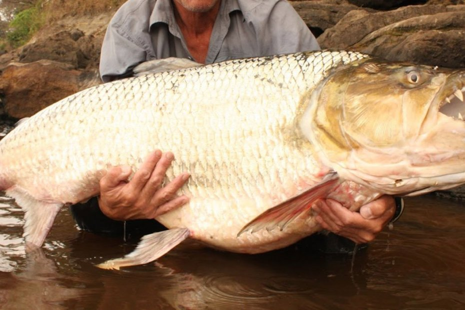Fotografía de un pez tigre.