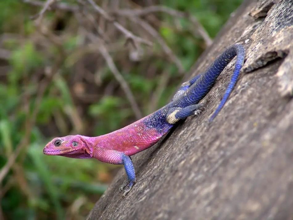 Las agamas, uno de los animales más coloridos del mundo.